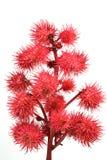 Rode ricinuszaadzaden royalty-vrije stock afbeeldingen