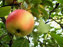 Rode rijpe appel Royalty-vrije Stock Afbeeldingen