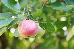 Rode rijpe appel op groene takje dichte omhooggaand Stock Foto