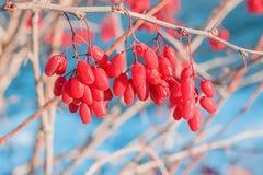 Rode rijpe bessen dichte omhooggaand op Bush Bérberis bevroor in de winter Royalty-vrije Stock Afbeeldingen