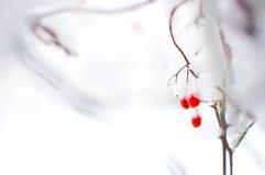 Rode rijpe die vruchten van viburnum in sneeuw worden behandeld Stock Afbeelding
