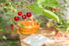Rode rijpe kersen op een tak in een zonnige tuin Royalty-vrije Stock Foto