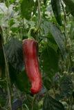 Rode Rijpe Paprika Attached aan Installatie royalty-vrije stock foto