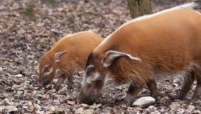 Rode riviervarkens Royalty-vrije Stock Fotografie