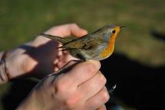 Rode Robin in de menselijke hand royalty-vrije stock fotografie