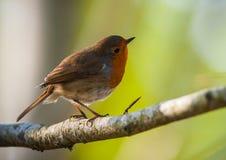 Rode Robin streek en omhoog kijkend neer Stock Afbeelding