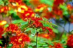 Rode rododendron Stock Afbeeldingen