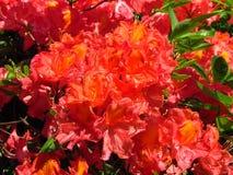 Rode rododendron, trillende bloesem met kleine gele gebieden royalty-vrije stock afbeelding