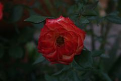 Rode Rose Alone Royalty-vrije Stock Fotografie