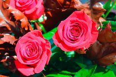 Rode Rose Background Flowers Red Surface royalty-vrije stock afbeelding