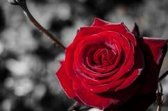 Rode Rose In een Donkere Wereld Royalty-vrije Stock Foto