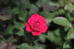 Rode Rose Flowerâ € ‹ stock foto