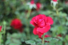 Rode Rose Flowerâ € ‹ stock fotografie