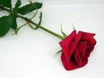 Rode Rose Flower een Witte Achtergrond stock afbeeldingen