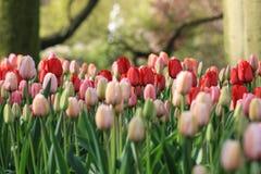 Rode, roze en oranje tulpen Stock Foto's