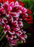 Rode, roze, en witte bloem Royalty-vrije Stock Fotografie