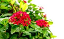 Rode Roze Ixora-Bloem met onduidelijk beeld en witte achtergrond stock fotografie