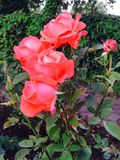 Rode Rode Rozen Stock Fotografie