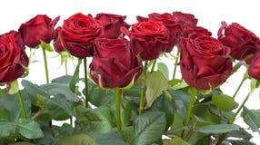 Rode rozen Royalty-vrije Stock Afbeeldingen