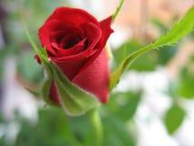 Rode rozen? royalty-vrije stock afbeeldingen