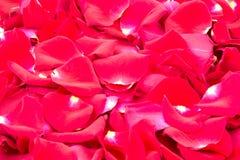 Rode rozen 2 Royalty-vrije Stock Fotografie