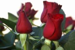 Rode rozen. Royalty-vrije Stock Foto's