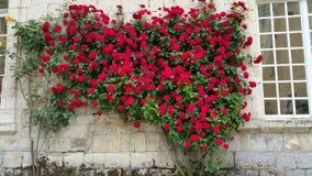 Rode rozen Stock Foto
