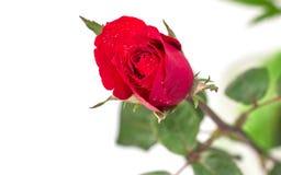 Rode rozen Stock Foto's