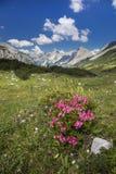 Rode rozen in de alpen stock fotografie