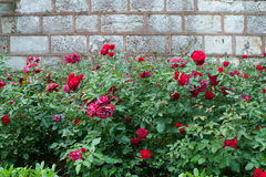 Rode rozen in de tuin Royalty-vrije Stock Afbeelding