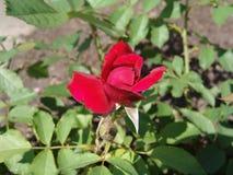 Rode rozen in de tuin Royalty-vrije Stock Foto's