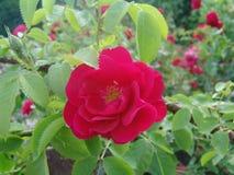 Rode rozen in de tuin Stock Afbeeldingen