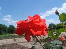 Rode rozen in de tuin Stock Fotografie