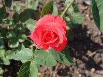 Rode rozen in de tuin Royalty-vrije Stock Afbeeldingen