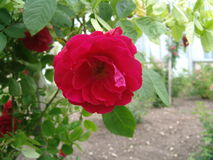 Rode rozen in de tuin Stock Foto