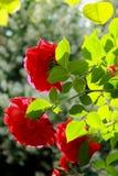 Rode rozen in de zon royalty-vrije stock foto