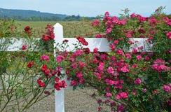 Rode rozen die op witte omheining groeien Stock Afbeelding