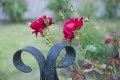 Rode Rozen in een Bloembed stock afbeelding