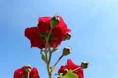 Rode rozen en blauwe hemel Stock Foto's