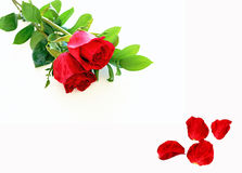 Rode rozen en bloemblaadjes Stock Foto