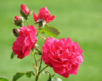 Rode Rozen - Knop om te bloeien Stock Foto's