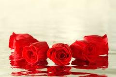 Rode rozen met bezinning Stock Fotografie