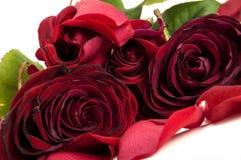 Rode rozen met bloemblaadjes Royalty-vrije Stock Afbeelding