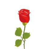 Rode rozen met geïsoleerde bladeren Stock Afbeelding