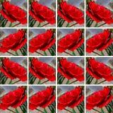 Rode rozen met regendalingen Royalty-vrije Stock Afbeeldingen