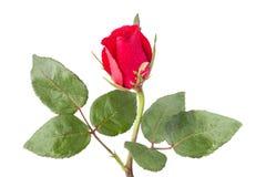 Rode rozen met waterdaling Royalty-vrije Stock Afbeeldingen