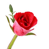 Rode rozen met waterdaling Stock Foto's