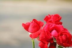 Rode rozen met waterdalingen op achtergrond royalty-vrije stock afbeeldingen