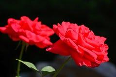 Rode Rozen met Zwarte achtergrond royalty-vrije stock foto