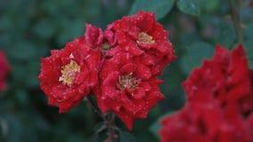 Rode rozen onder de regen stock videobeelden